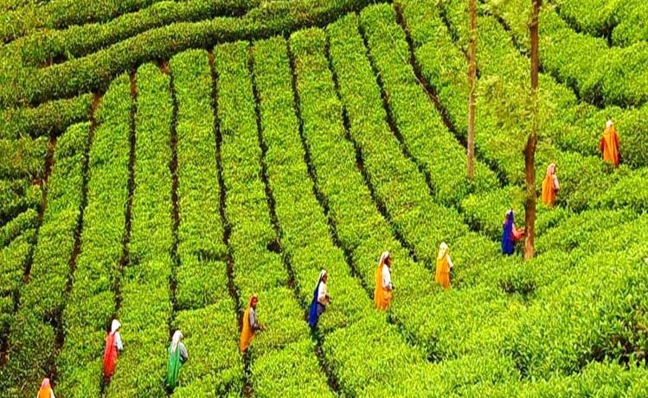 tea plantation mauritius chandigarh tour packages chandigarh